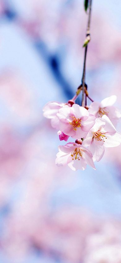 cherry blossom iPhone XR Wallpapers Download